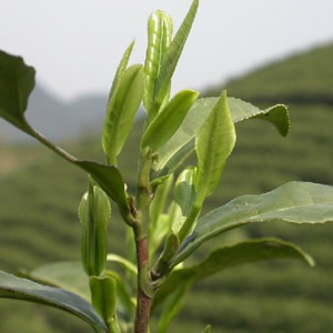 Jin Jun Mei Leaf